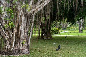 A Banyan tree at Azerai Can Tho