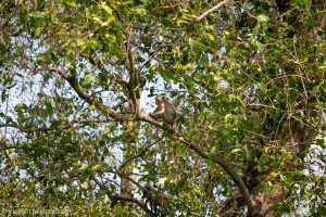 Monkey spotted at Azerai Can Tho