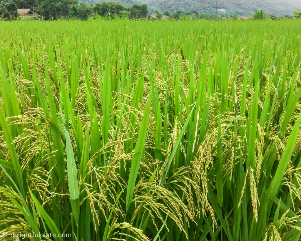 Vibrant green paddy fields in Yen Bai