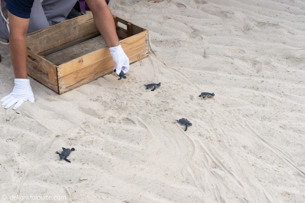 Baby turtles making their way to the ocean at Six Senses Con Dao
